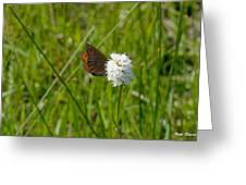 Common Alpine On Bistort Greeting Card