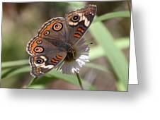Common Buckeye Greeting Card
