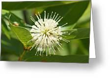 Common Buttonbush Greeting Card