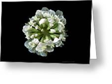 Common Clover Greeting Card
