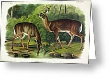 Common Deer Greeting Card
