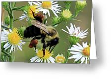 Common Eastern Bumblebee  Greeting Card