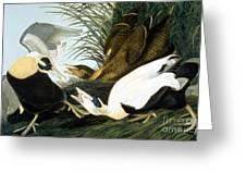 Common Eider, Eider Duck Greeting Card