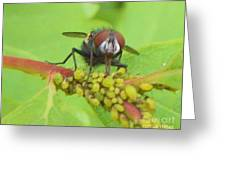 Common Fly Licking Up Aphid Nectar     May         Indiana    Greeting Card