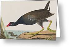 Common Gallinule Greeting Card