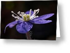 Common Hepatica Greeting Card