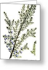 Common Juniper Alchemy Plant Greeting Card