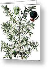 common juniper, Juniperus communis Greeting Card