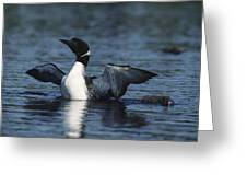 Common Loon Flaps Greeting Card