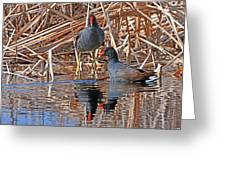 Common Moorhen Greeting Card