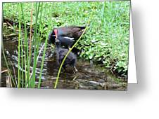 Common Moorhen And Chick Greeting Card