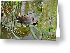 Common Moorhen Greeting Card