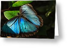 Common Morpho Blue Butterfly Greeting Card