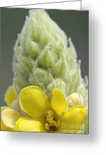 Common Mullein - New England Greeting Card