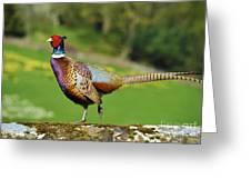 Common Pheasant. Greeting Card