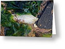 Common Piddock - Pholas Dactylus Greeting Card