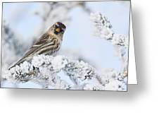 Common Redpoll - Hello Greeting Card