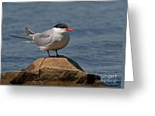 Common Tern... Greeting Card by Nina Stavlund