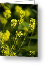 Common Wintercress Flowers Greeting Card