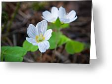 Common Wood Sorrel Greeting Card