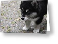 Concern On The Face Of An Alusky Puppy Greeting Card