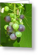 Concord Grapes On The Vine Greeting Card
