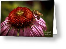 Coneflower Bee Greeting Card