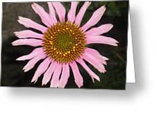 Coneflower In The Pink Greeting Card