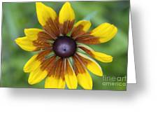Coneflower - New England Wild Flower Greeting Card