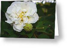 Confederate Rose Greeting Card