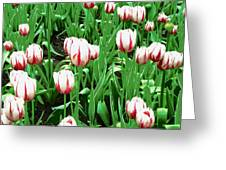 Confederation Tulips Greeting Card
