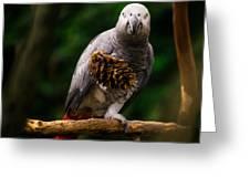 Congo African Grey Parrot Greeting Card