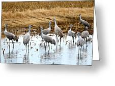 Congregating Sandhill Cranes Greeting Card