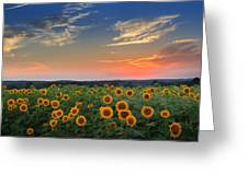 Connecticut Sunflowers In The Evening Greeting Card