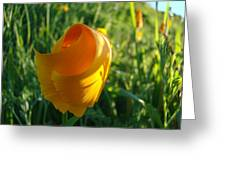 Contemporary Orange Poppy Flower Unfolding In Sunlight 10 Baslee Troutman Greeting Card