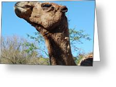 Contemptuous Camel Greeting Card