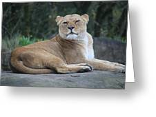 Contented Lioness Greeting Card