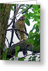 Cooper Hawk Greeting Card
