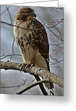 Cooper's Hawk 2 Greeting Card