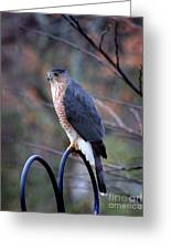 Coopers Hawk In Autumn Greeting Card