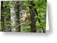 Coopers Hawk In New Hampshire Greeting Card