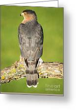 Cooper's Hawk In The Backyard Greeting Card