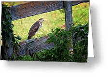 Coopers Hawk Perched On A Weathered Fence Greeting Card