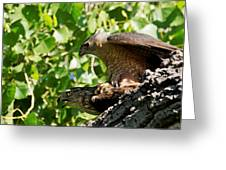 Cooper's Hawks Mating Greeting Card