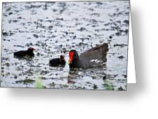 Coot Family Greeting Card
