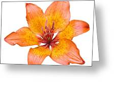 Coral Colored Lily Isolated On White Greeting Card