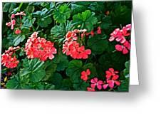 Coral Geraniums At Pilgrim Place In Claremont-california   Greeting Card