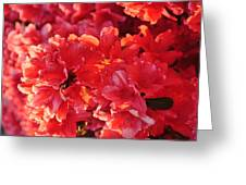 Coral Pink Azaleas Greeting Card