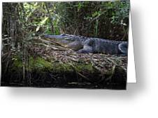 Corkscrew Swamp - Really Big Alligator Greeting Card