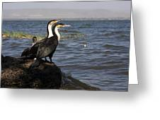 Great Rift Cormorants Greeting Card